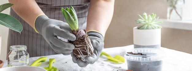 ヒヤシンスを保持している女性庭師の手。ホームガーデニングとポットに花を植えることの概念