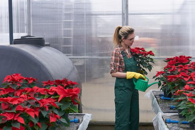 온실에 있는 여성 정원사는 비료나 살충제를 토양에 적용하여 포인세티아 꽃을 돌본다