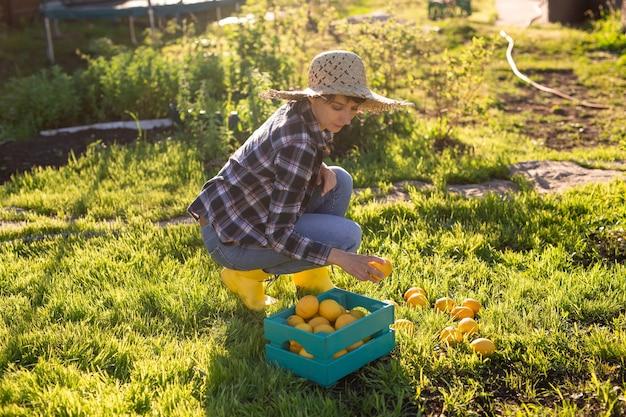 모자에있는 여자 정원사는 그녀의 채소 밭에서 바구니에 레몬을 선택합니다.