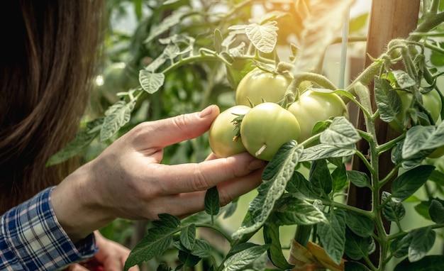 女性の庭師は注意深く手に持って、温室でまだ熟していないトマトを調べています。植物の世話と健康的な有機野菜の栽培の概念。