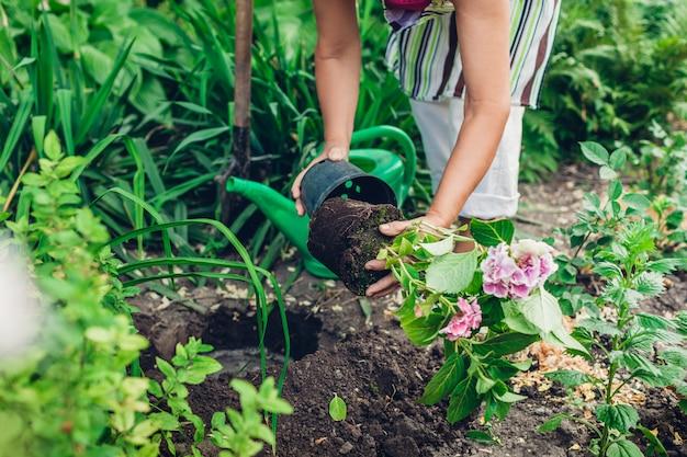 アジサイの花をポットから湿った土に移植する庭師の女性。夏の春の庭仕事。