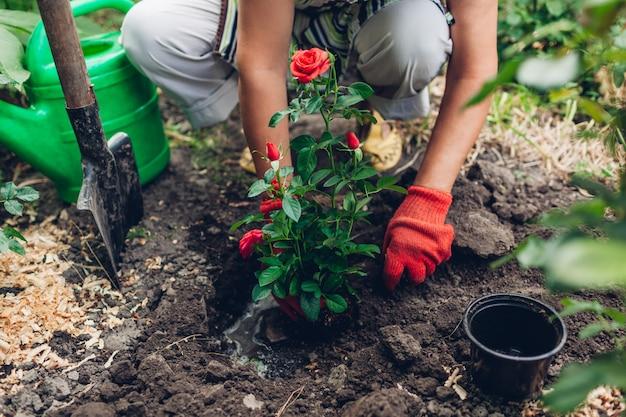 赤いバラの花をポットから濡れた土に移植する庭師の女性。夏の春の庭仕事。