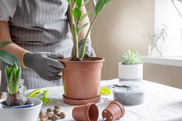 女性庭師移植植物。家の園芸および鍋に花を植えることの概念は、家の装飾を植える