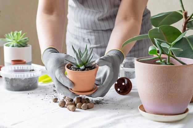 女性庭師移植多肉植物。家の園芸および鍋に花を植えることの概念は、家の装飾を植える