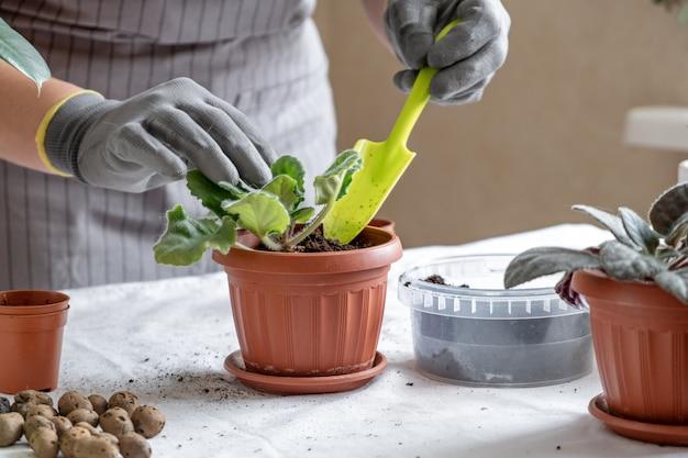 女性庭師移植バイオレット。家の園芸および鍋に花を植えることの概念は、家の装飾を植える