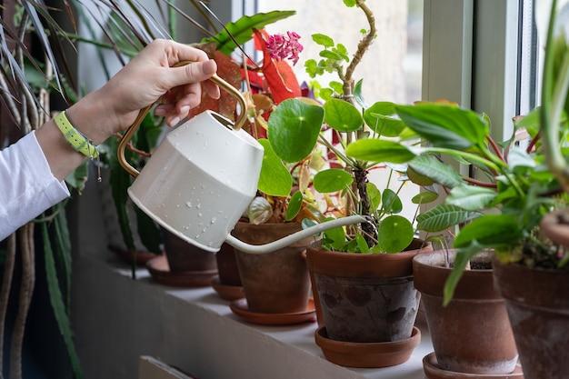 緑の家の窓辺に鉢植えの観葉植物に水をまく女性の庭師、クローズアップ。趣味、植物への愛情