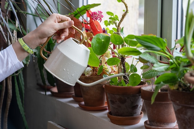 Woman gardener watering potted houseplant on windowsill in green house, close up. hobby, love of plants