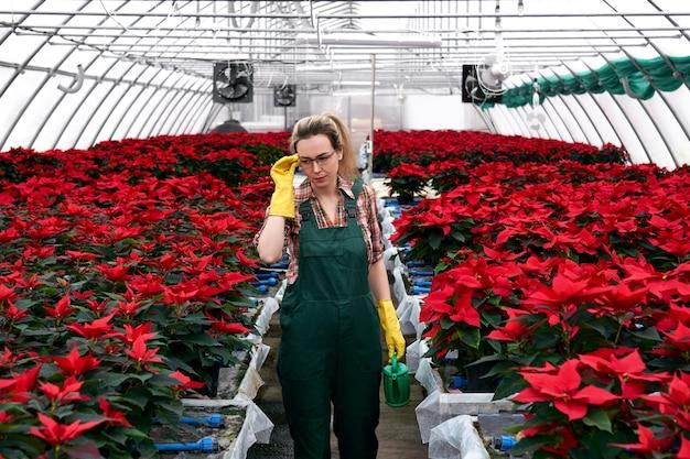 빨간 포인세티아 꽃이 있는 온실에서 손에 물뿌리개를 들고 있는 여성 정원사는 비료나 살충제가 필요한 식물을 눈으로 식별합니다