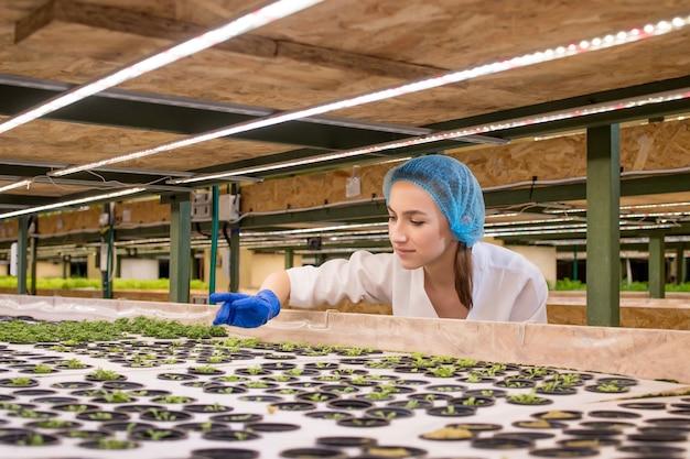 女性の庭師は水耕栽培の農場で緑を保ち、顧客に届ける前に成長の緑を注意深く観察します