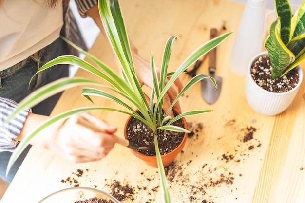 Женщина-садовник ухаживает и пересаживает растение в новый белый горшок на деревянном столе. домашнее озеленение, любовь к комнатным растениям, фриланс. весеннее время. стильный интерьер с множеством растений.