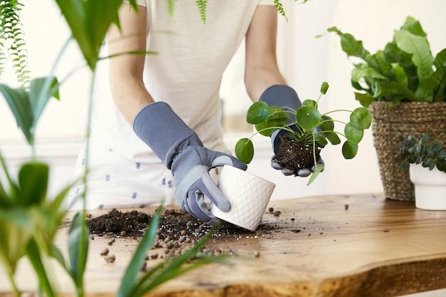 デザイン木製テーブルのセラミックポットに植物を移植する女性の庭師。ホームガーデンのコンセプト。春の時間。植物がたくさんあるスタイリッシュなインテリア。観葉植物の世話をします。テンプレート。