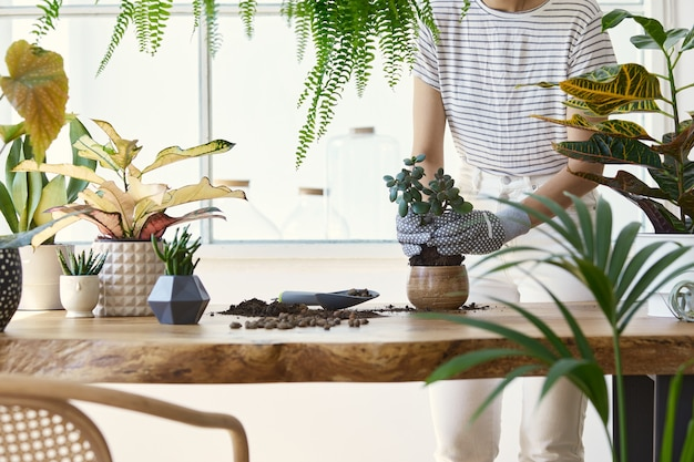 デザイン木製テーブルのセラミックポットに植物を移植する女性の庭師。ホームガーデンのコンセプト。春の時間。植物がたくさんあるスタイリッシュなインテリア。観葉植物の世話をします。レンプレート。