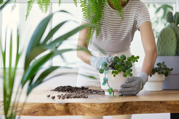 デザインの木製テーブルの上のセラミック ポットに植物を移植する女性の庭師。家庭菜園のコンセプト。春の時間。植物をふんだんに使ったスタイリッシュな店内。家の植物の世話..