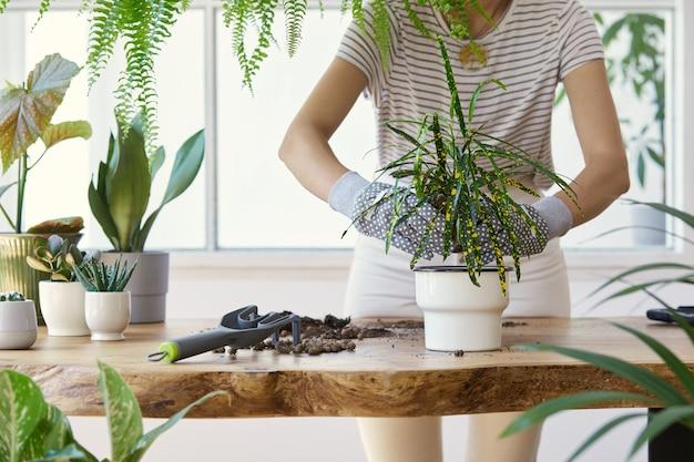 디자인 나무 테이블에 세라믹 냄비에 식물을 이식하는 여자 정원사.