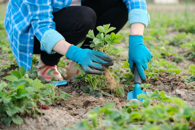 Woman in gloves with garden tools planting strawberry bushes