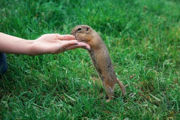 ホリネズミに餌をやる女性 Premium写真