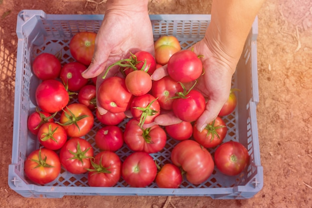 Woman hand harvesting fresh  organic tomatoes in a box.