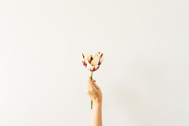 여자 손을 잡고 화이트 튤립 꽃