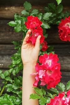 美しい紫ピンクのバラを持つ女性の手