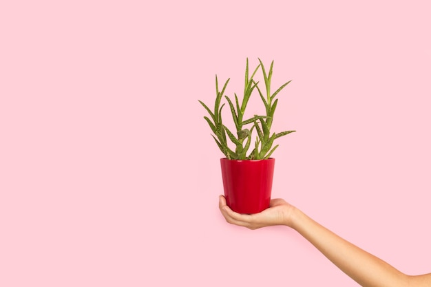 Woman hand holding a flower pot with an aloe vera plant on a pink background