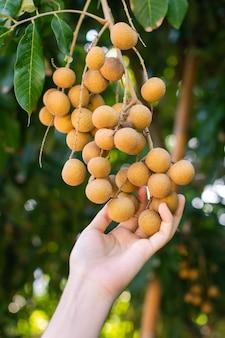 リュウガン農業農場で収穫する準備ができて枝にリュウガンの果実を持っている女性の手。