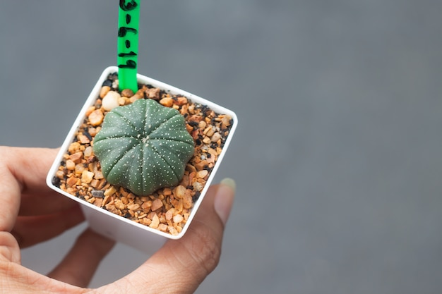 Woman hand holding a pot of astrophytum cactus