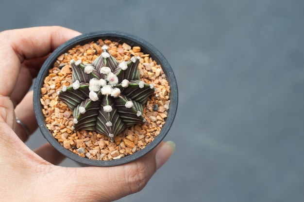 Woman hand holding a pot of gymnocalicium cactus,