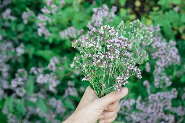 女性の手は新鮮なカッティングオレガノ植物の花束を保ちます Premium写真