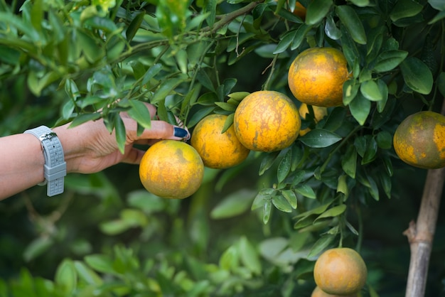 Woman hand picking orange on the tree, close up.