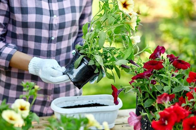 ペチュニアの花を植える女性手、植木鉢ツールを持つ庭師。