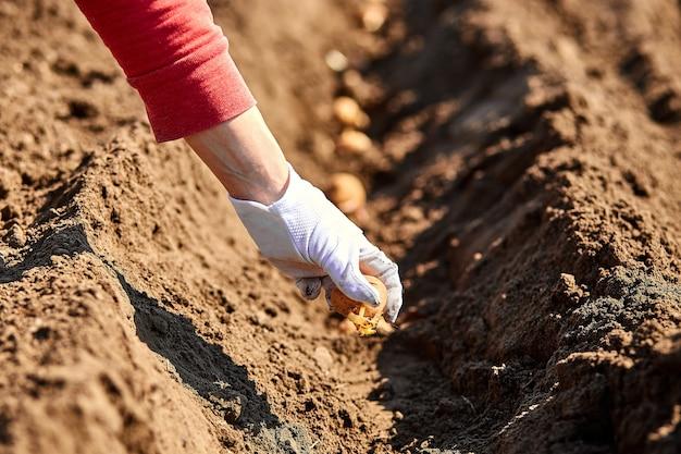 ジャガイモ塊茎を地面に植える女性の手。ガーデンシーズンの早春の準備。種いも。季節の仕事。
