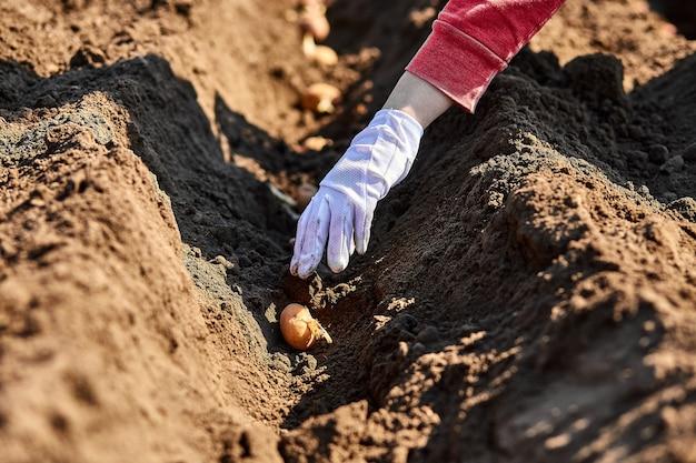 ジャガイモ塊茎を地面に植える女性の手。ガーデンシーズンの早春の準備。