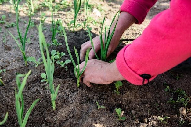 Рука женщины вырывает сорняки в саду весной.