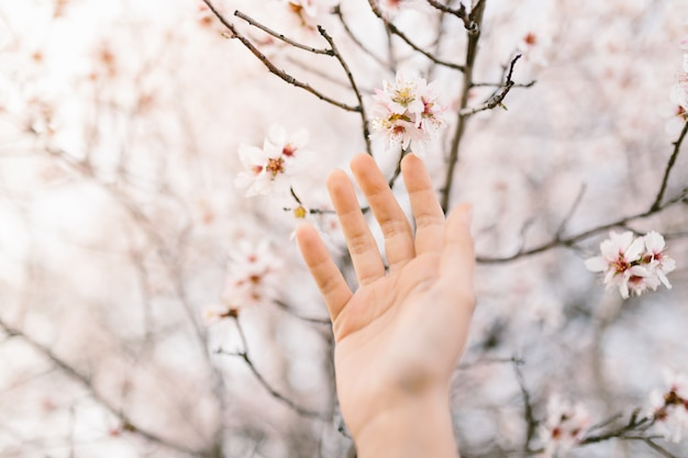 Woman hand touching almond blossoms tree. cherry tree with tender flowers. amazing beginning of spring. selective focus. flowers concept.