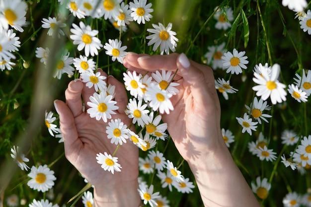 Женская рука трогательно ромашки на поле или лугу, концепция использования ромашки