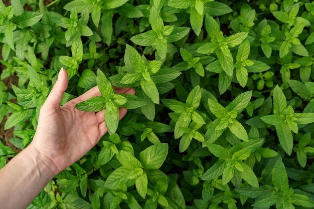 庭で新鮮な有機ミントに触れる女性の手。