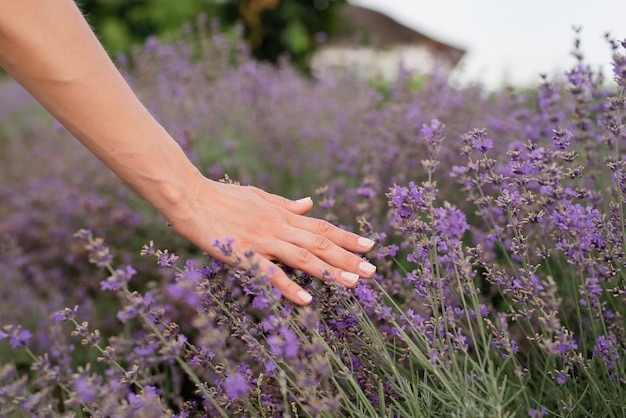 ラベンダー畑でラベンダーの花に触れる女性の手