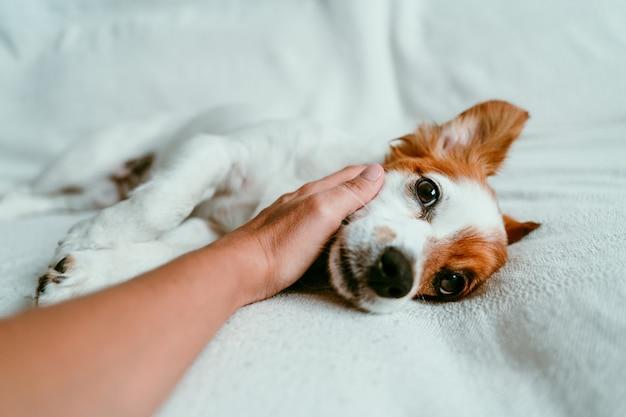 ソファーで横になっているリラックスした犬に触れる女性手