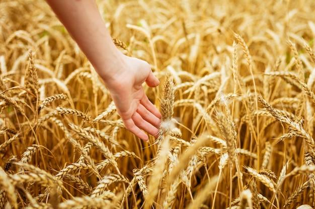 여자 손 필드에 밀 귀를 만지고 황금 밀밭에 손
