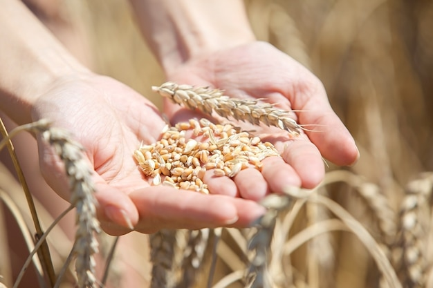 フィールドに小麦の耳に触れる女性手