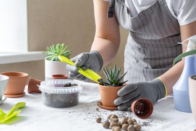テーブルの上のセラミックポットに多肉植物を移植する女性の手。屋内ガーデンホームのコンセプトです。