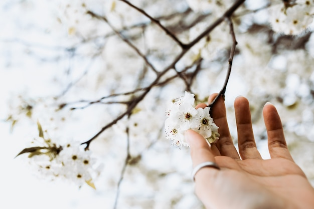 Woman hand with rings picking white flowers from a branch in spring