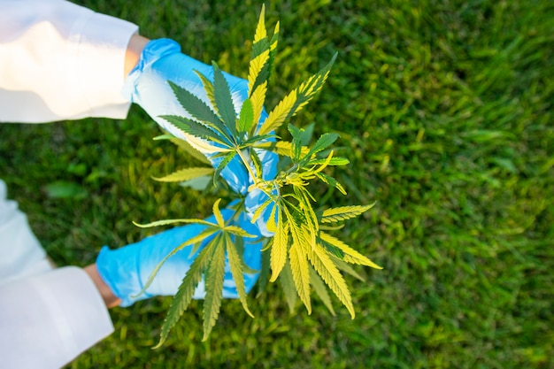Woman hands in coat and medical gloves holding branch cannabis with five fingers leaves.