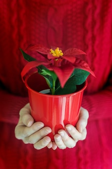 Woman hands hold christmas poinsettia flower in vase