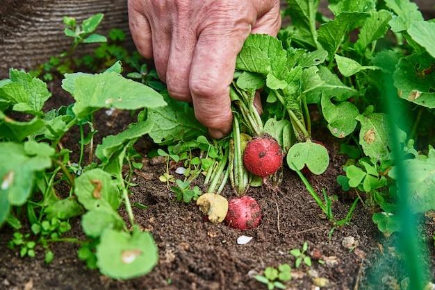 Женские руки держат свежий редис фермер, собирающий урожай в саду, органические овощи, здоровые натуральные продукты