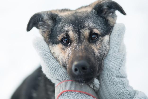 冬の森に座っている雪に覆われた雑種犬の顔を保持している女性の手。閉じる