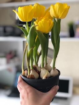 Женщина руки, держа желтые тюльпаны, вертикальное изображение