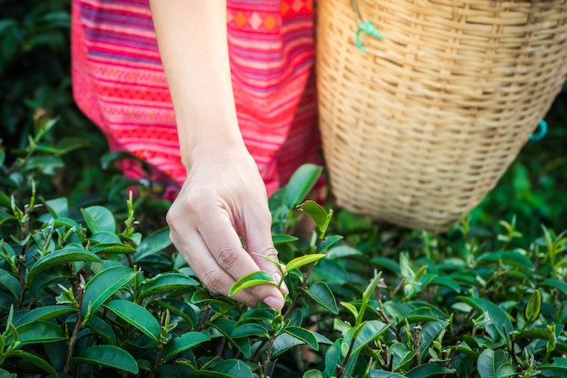Woman hands holding young green tea leaves on hill in the morning with sunrise ray