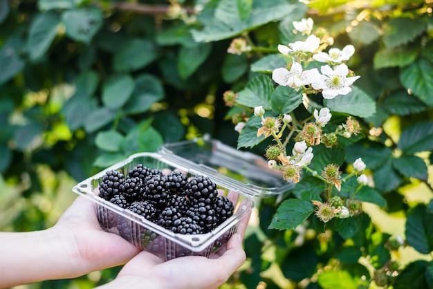 庭の果樹園でブラックベリーとラズベリーを選ぶ女性の手