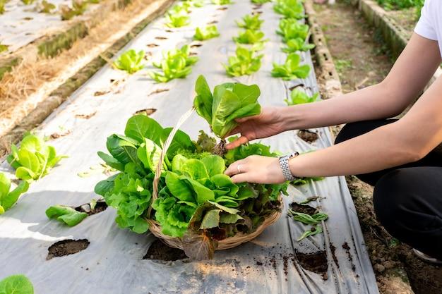 수경 샐러드 채소 정원에서 바구니에 신선한 상추를 따는 여자 손